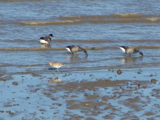Dark-Bellied Brent Geese and Curlew