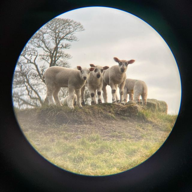 Sheep from the Shetland Islands