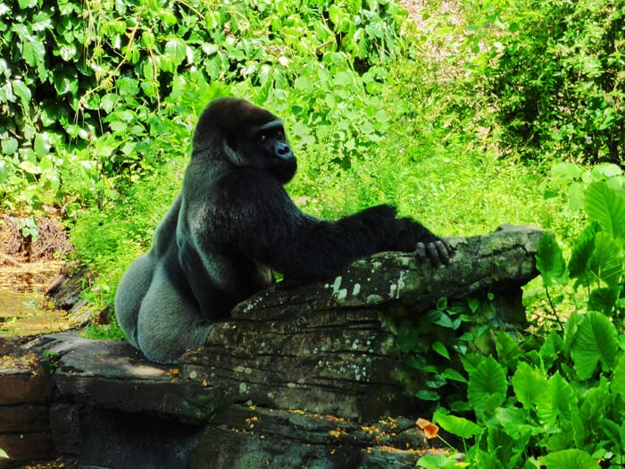 Animal Kingdom - Gorilla
