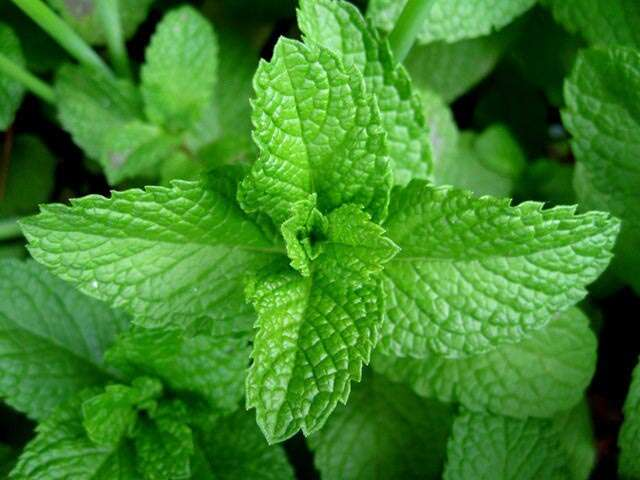 Fight Rainy Season Infections With This Mint Coating