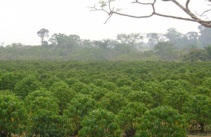 Plantação de  pimenta-de-macaco