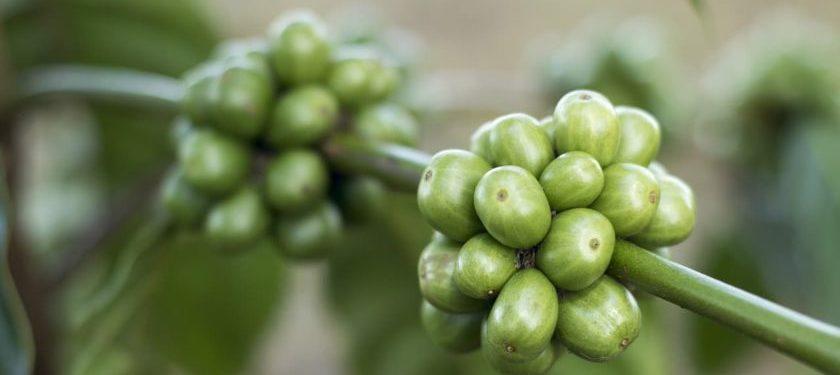 zyra vital zum abnehmen mit grünen kaffee