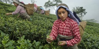 Darjeeling: Women's Labour Behind Our Cups Of Tea