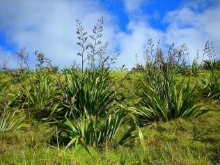 Flax on Waiheke