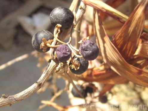 Smallest Black berries/Maqui (in finish of season)