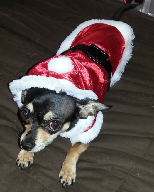 Bit rocking her super cute Santa suit (Thanks Grampy! Love, your grand-dog-her)