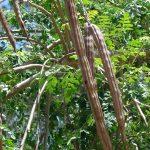 Les fruits (gousses) du Moringa-oleifera