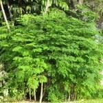 l'arbre de Moringa