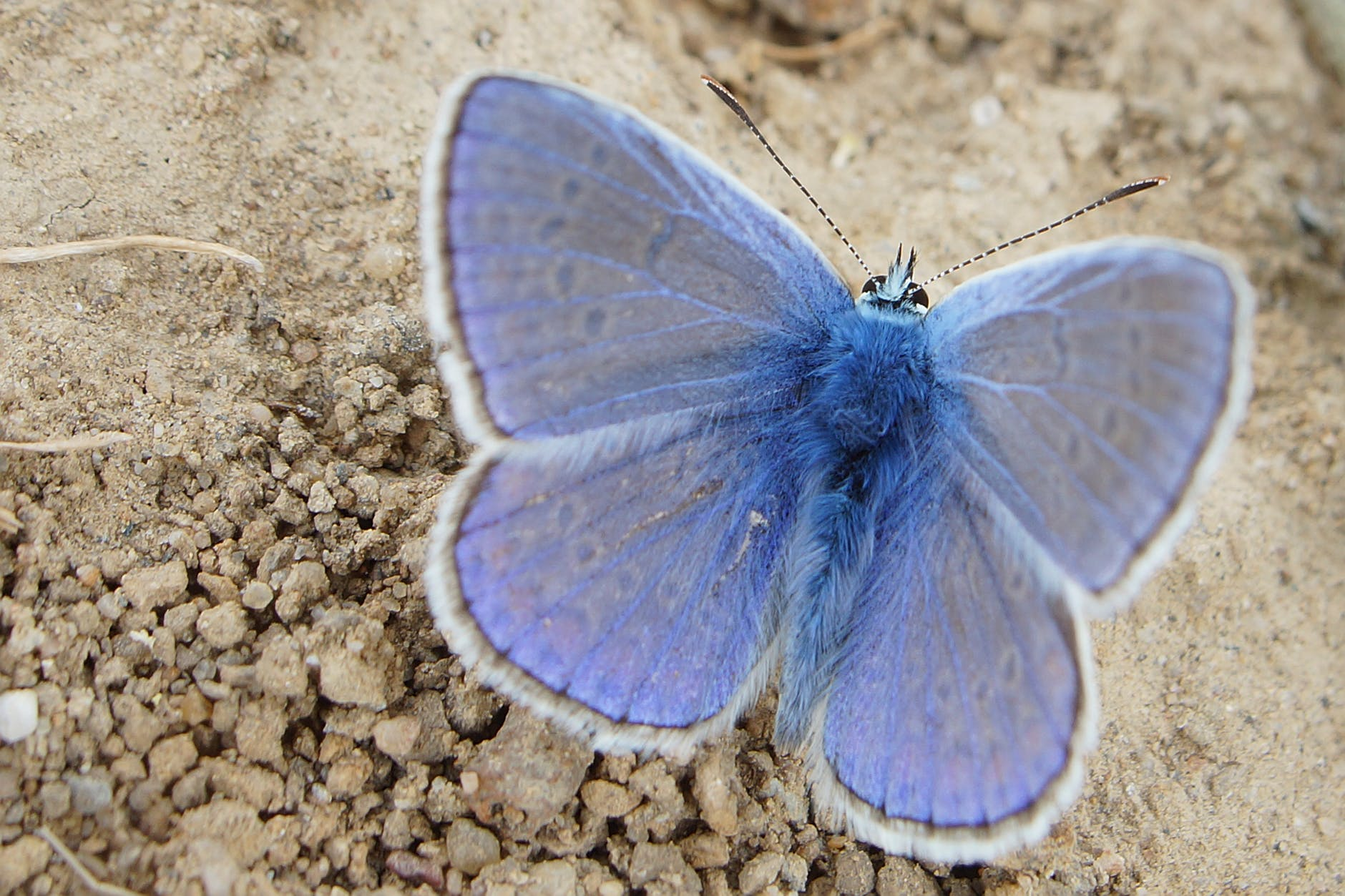 The thyroid is a butterfly-shaped organ