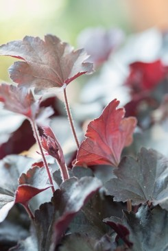 Heuchera 'Black Beauty' (c) perennialpower.nl