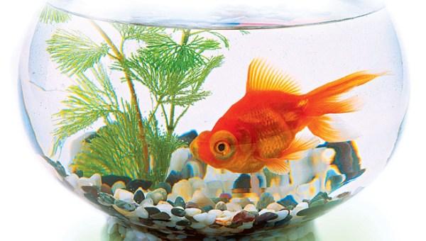 """Простой аквариум для золотой рыбки Аквариум """"Золотой рыбки ..."""
