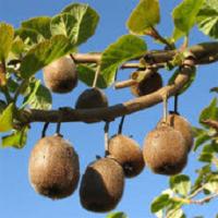 Feng Shui Cuisine : Le Kiwi du Sud-Ouest de la France apporte un maximum de vitamines.