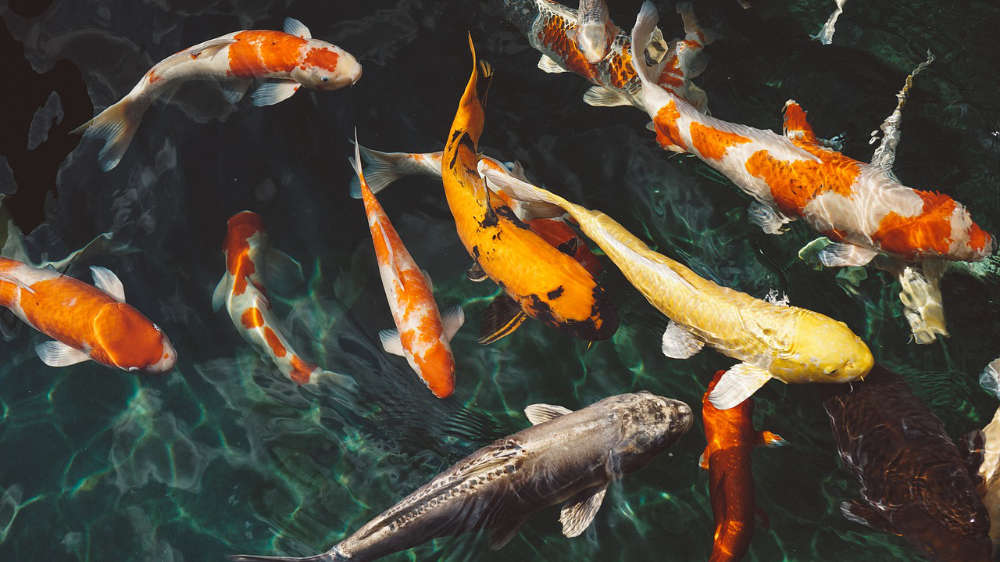 Koi Fish Feng Shui Use And Significance Feng Shui Beginner