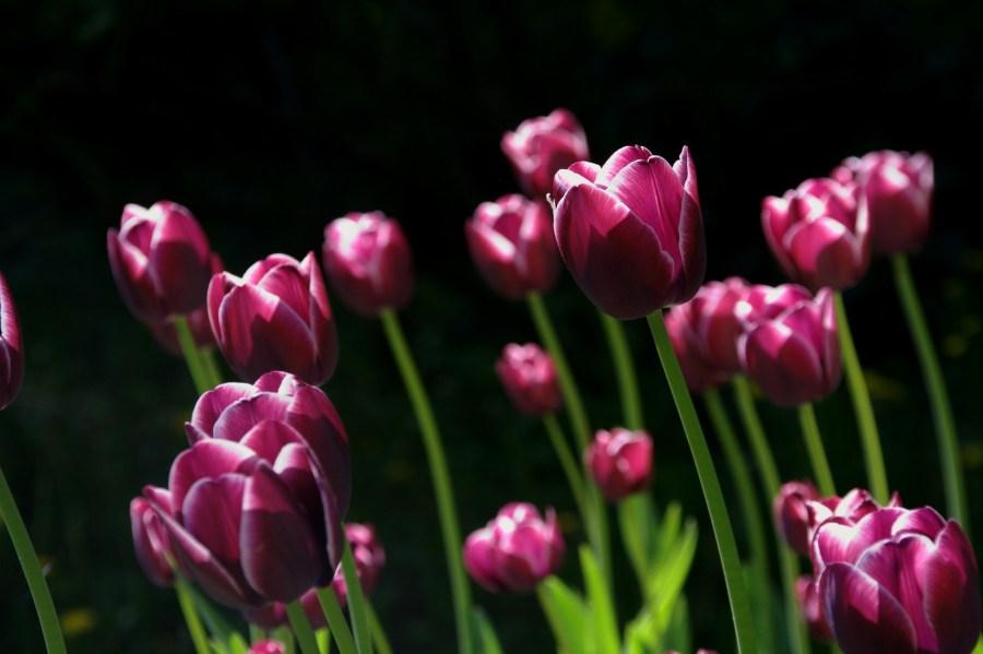 Feng Shui Joan Way Thank You Spring Tulips