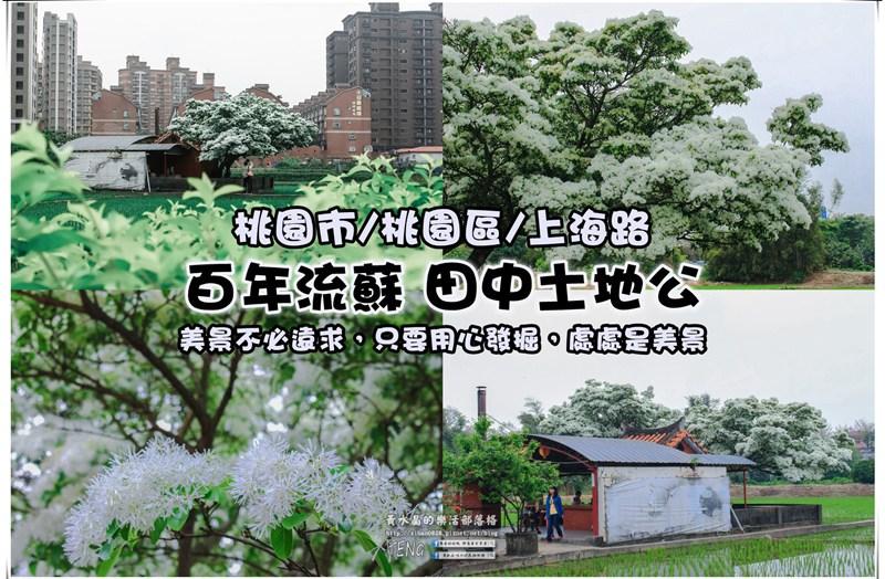桃園上海路百年流蘇花【桃園景點】 遠看像舞獅的人間四月雪 @黃水晶的瘋台灣味