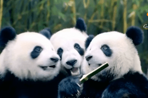 CHINA'S CUTEST GIANT PANDA TRIPLETS