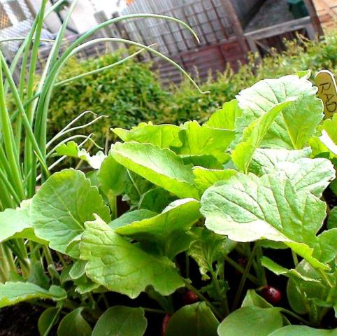 Spring salad plants from Seed Pantry
