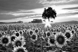 sunflower-fields-in-black-and-white-debra-and-dave-vanderlaan