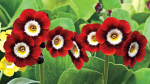 plant-primrose-LARGE