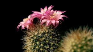 Cactus-Flower-14