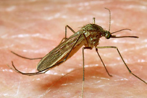 culex_pipiens_mosquito_female_reared_in_east_sussex