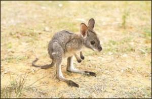 kangaroo-kangaroos-Favim.com-899603