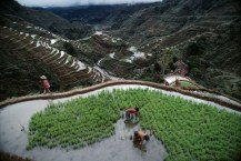 Productive for centuries, irrigated rice terraces of Banaue are tended by the Ifugao, probably descendants of the people who built them. Protected by 6,000 foot peaks, the Ifugao resisted control by the SPanish during their rule from 1565 to 1898. Today the Philippines is self-sufficient in rice, thanks to high yield strains introduced over the past two decades, but they require expensive fertilizers and pesticides, pinching small framers. National Geographic, The Philippines: A Time of Hope and Danger National Geographic (July 1986 vol.170 (1) 76-117 Transplanting seedlings on the rice terraces, Banaue, Philippines. McCurry, Steve. (1988). Monsoon. London: Thames and Hudson, 84.