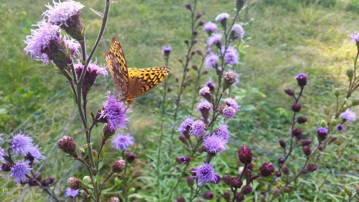 NEBS with GS Fritillary at Appleton Farms - Aug 2015