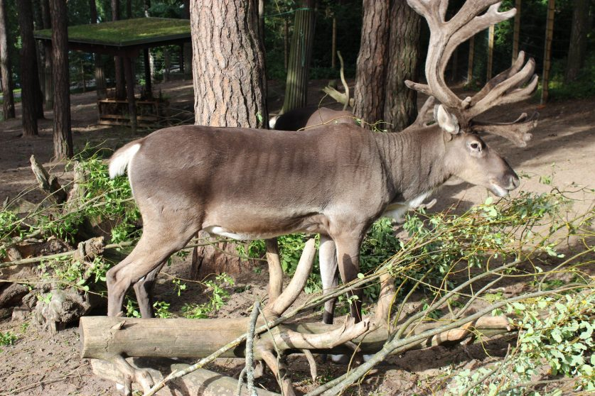 Forest reindeer male in Helsinki Zoo