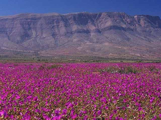 As flores do deserto de Atacama (2/4)