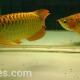 wpid-arwana-super-red-by-cbs-arowana-04.jpg.jpeg