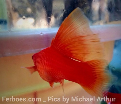 wpid-platy-sailfin-swordtail-05.jpg.jpeg