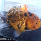 wpid-ranchu-calico-01-1.jpg.jpeg
