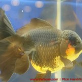 Goldfish grand champion Aquarama-14.jpg
