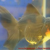 Goldfish grand champion-09.jpg