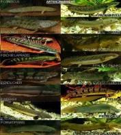 wpid-katalog-ikan-palmas.jpg.jpeg