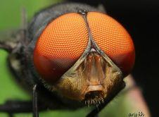 Lalat.jpg