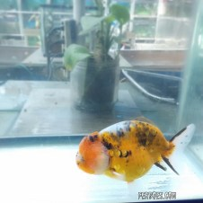 Ranchu calico.jpg