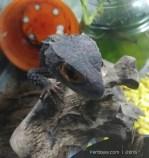 Crocodile Skink-07.jpg