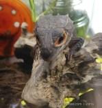Crocodile Skink-12.jpg