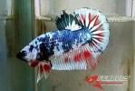 Ikan-cupang_35.jpg