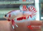 Ikan-cupang_9.jpg