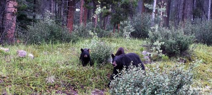bears jasper national park 1