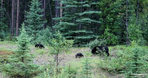 bears jasper national park 5