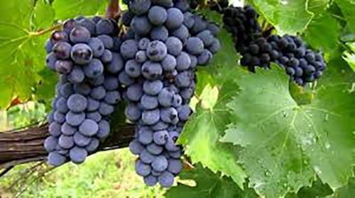 Sangiovese druer