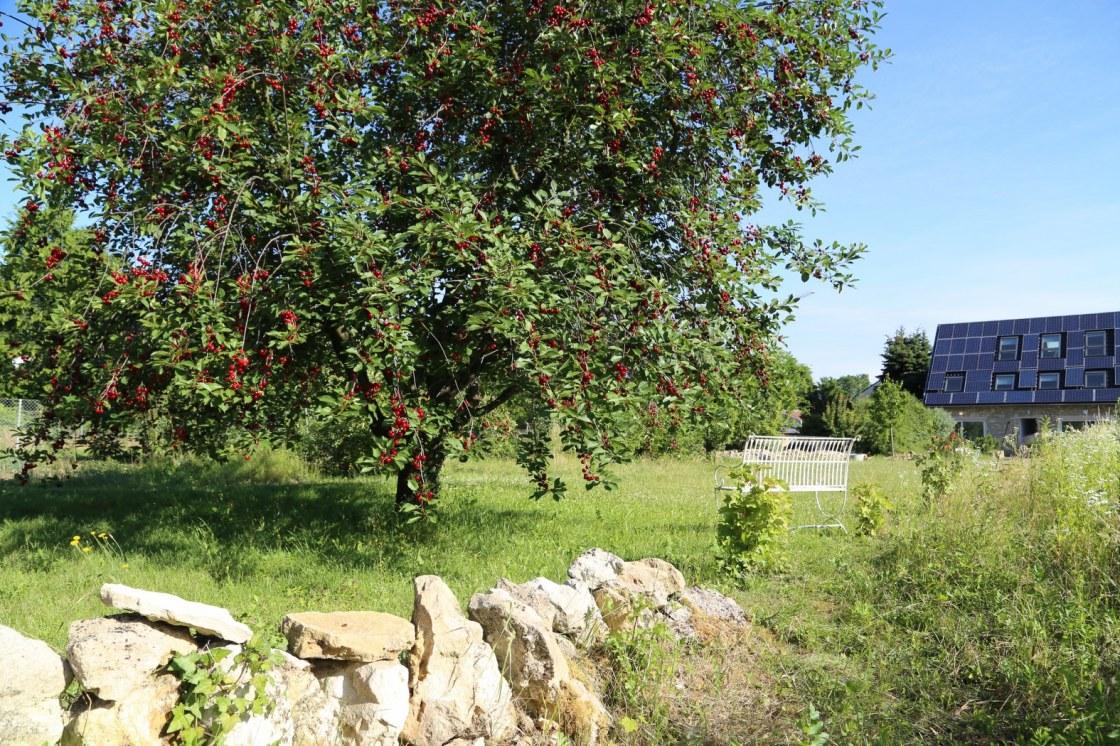 Kirschbaum im mittlerer Teil des Gartens, im Hintergrund das Gartenhaus
