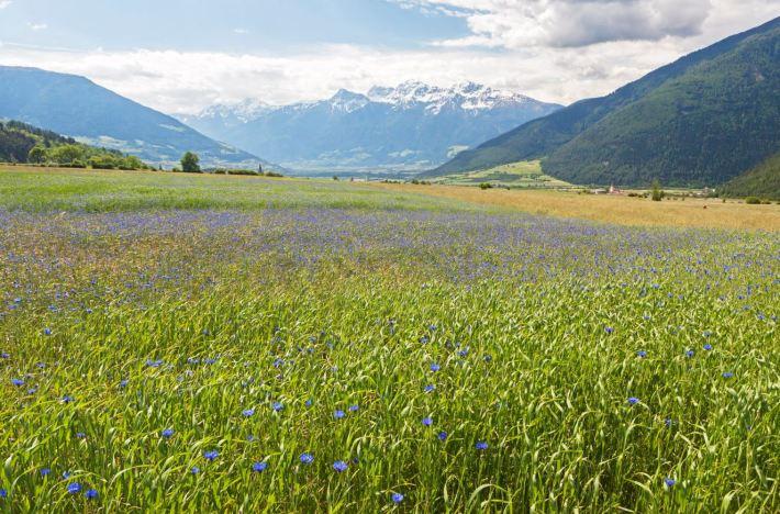 Kornblumen © IDM Südtirol Frieder Blickle