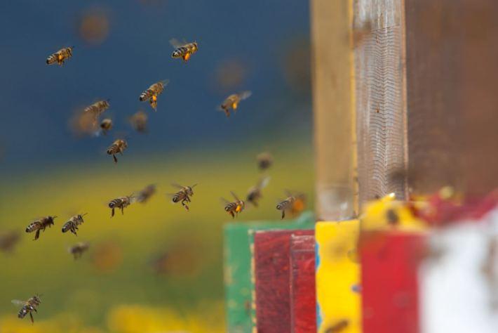Bienenbestäubung im Südtirol © IDM Südtirol, Frieder Blickle