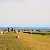 Schafe halten den Rasen kurz