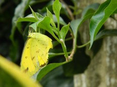 yellow butterfly, look at her wing, it's ripped